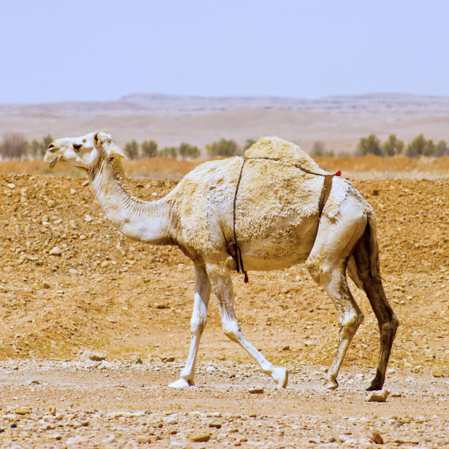 """Arabian or Indian Dromedary Camel"" stock image"