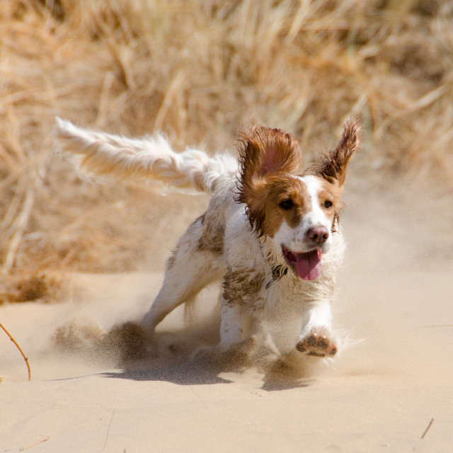 """Cocker spaniel dog playing on the beach"" stock image"