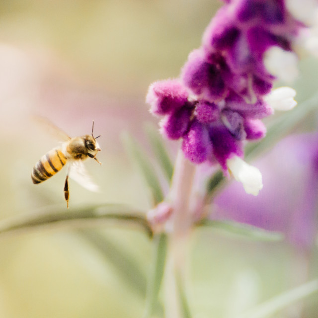"""""""Bee fly-by"""" stock image"""