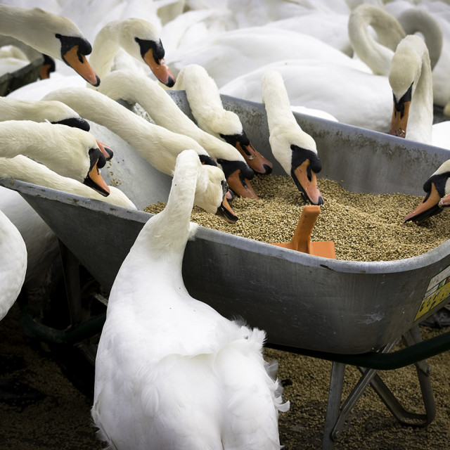 """Swans feeding from a wheelbarrow."" stock image"