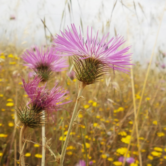 """purple thistle flower on field"" stock image"