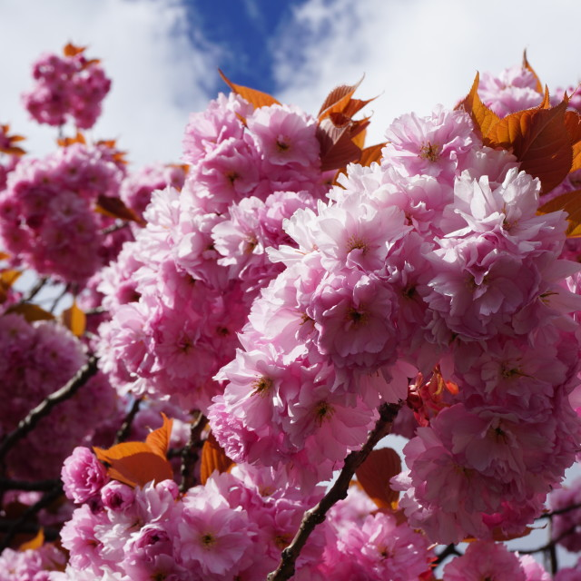 """Pink Cherry Blossom"" stock image"