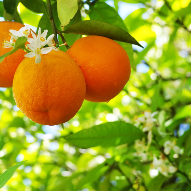 """Ripe oranges and flower on a tree close-up"" stock image"
