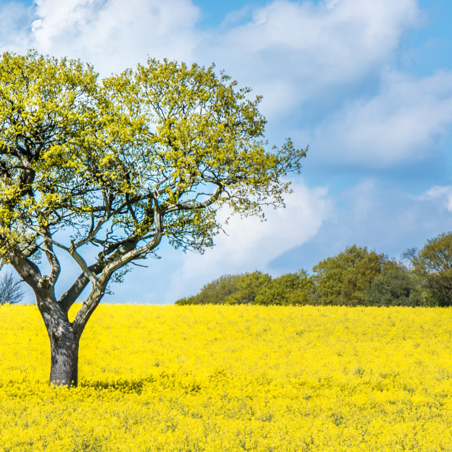 """Oak tree in a sea of yellow"" stock image"
