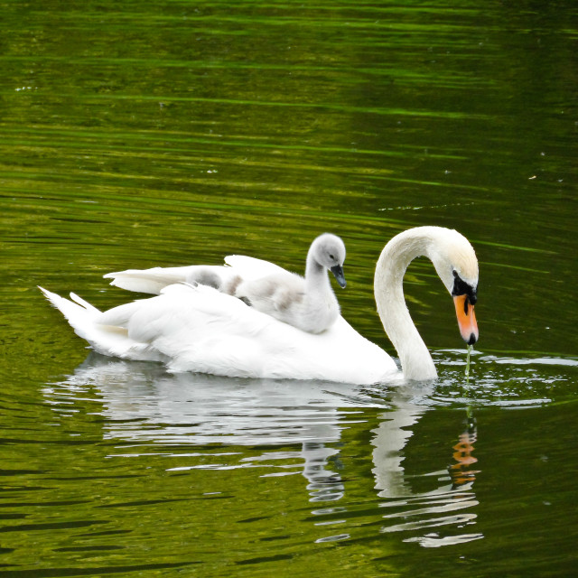 """Swan and Cygnet"" stock image"