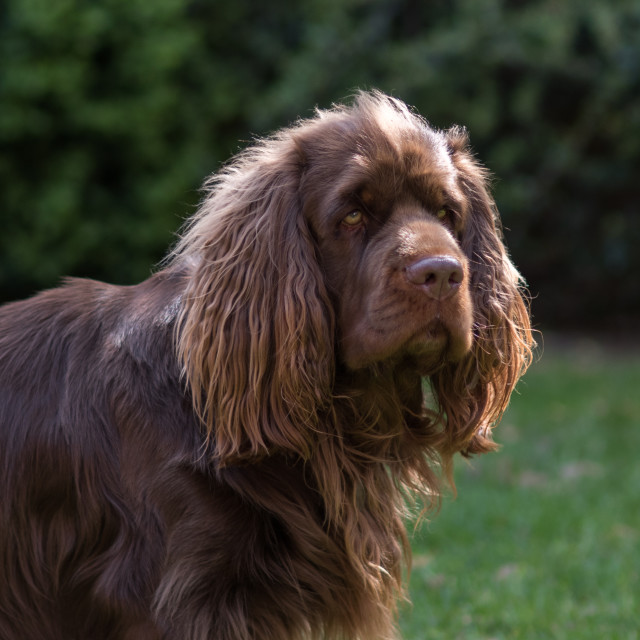 """Sussex Spaniel Portrait natural light"" stock image"