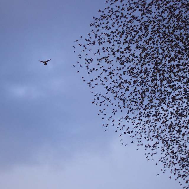 """Sparrow Hawk & Starlings"" stock image"