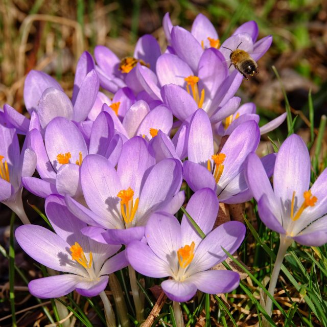 """Crocus in the Springtime"" stock image"