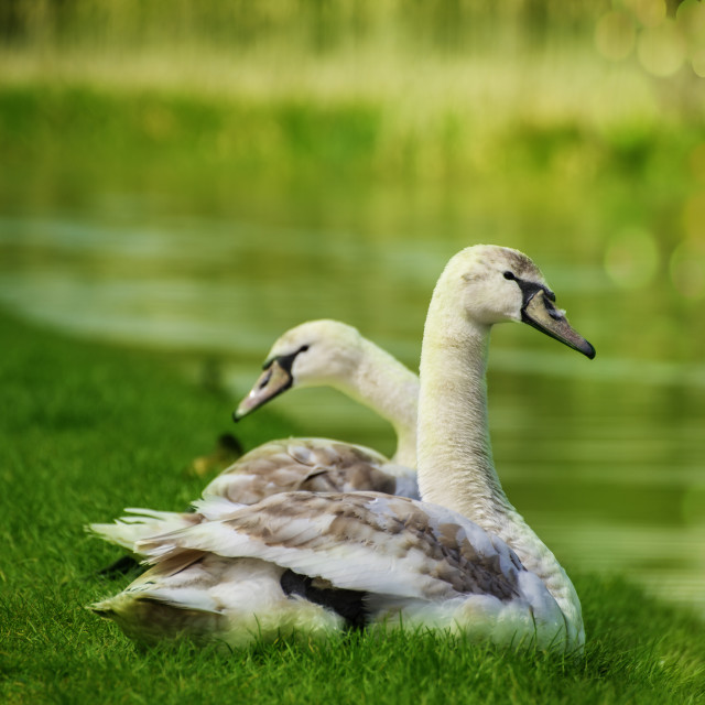 """Young swans"" stock image"