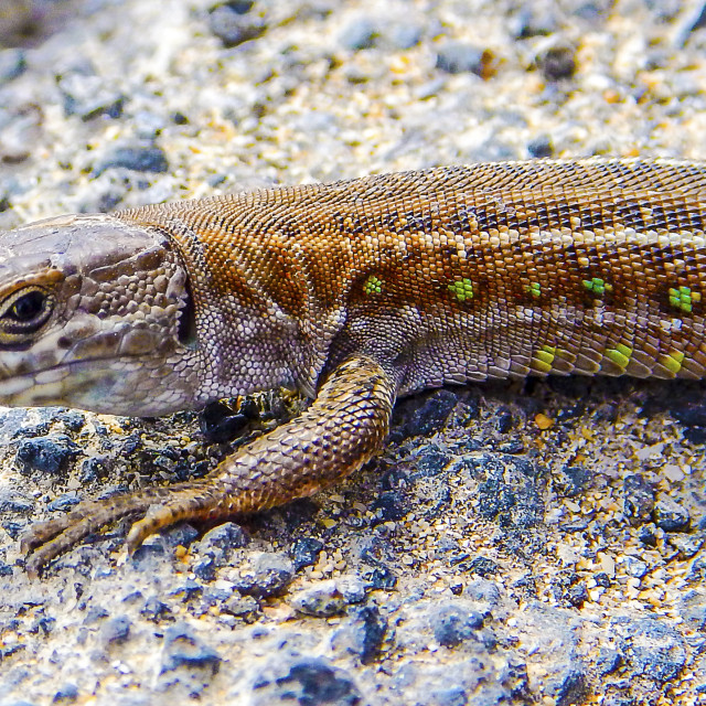 """Lizard on island Lanzarote"" stock image"