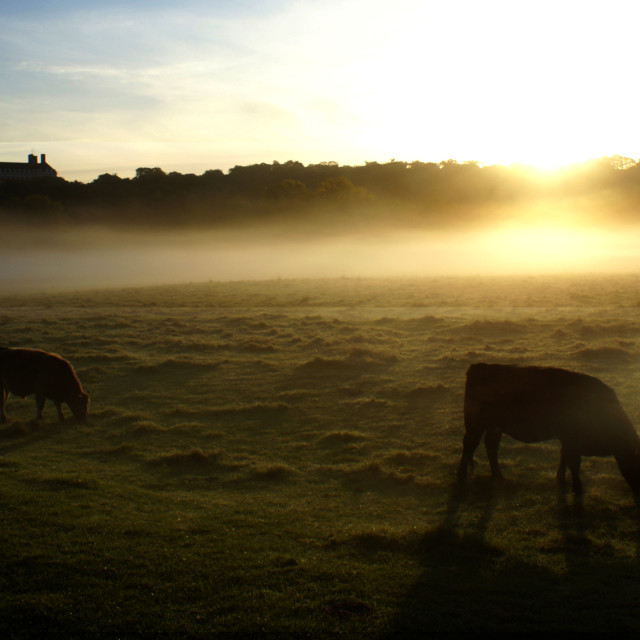 """Cows in Mist"" stock image"