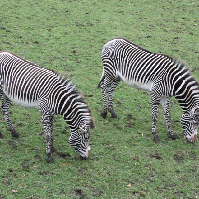 """Two zebras grazing at Edinburgh Zoo."" stock image"