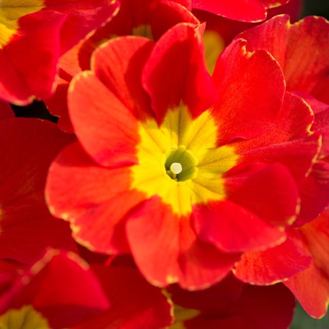 """""""Red Primula"""" stock image"""