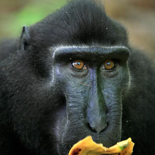 """Macaca Nigra, Tangkoko Batuangus Nature Reserve, Sulawesi, Indonesia"" stock image"