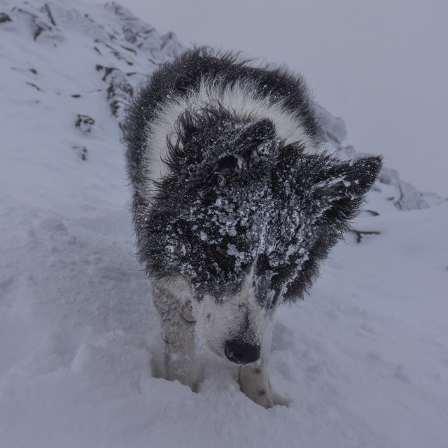 """Dog in Snow Storm"" stock image"