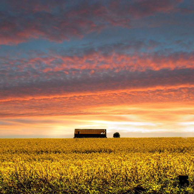 """Sun setting over a field of rapeseed"" stock image"