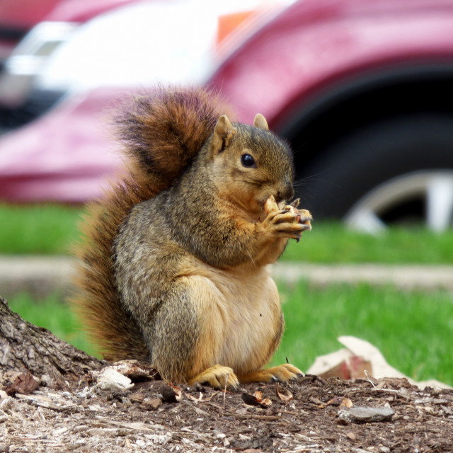 """""""Squirrel in the City"""" stock image"""