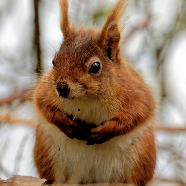 """""""Red Squirrel I"""" stock image"""