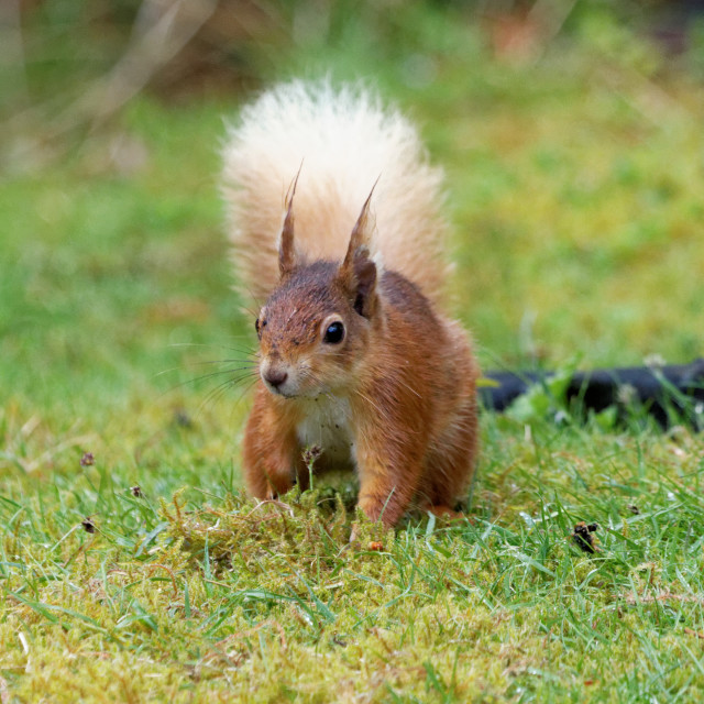 """""""Red Squirrel II"""" stock image"""