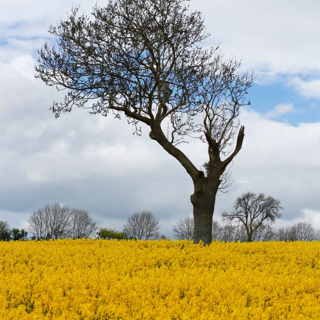 """""""Unique Tree in Yellow Rapeseed Field"""" stock image"""
