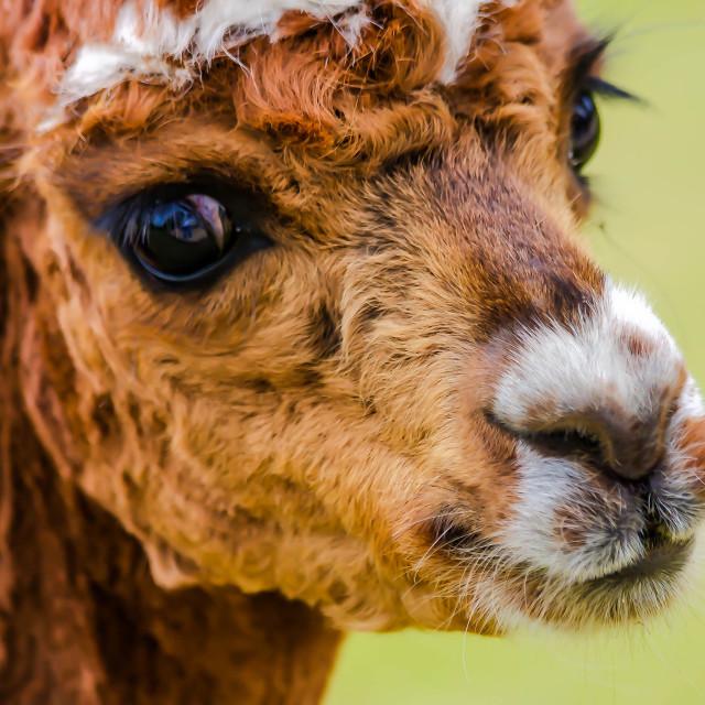 """Alpaca"" stock image"