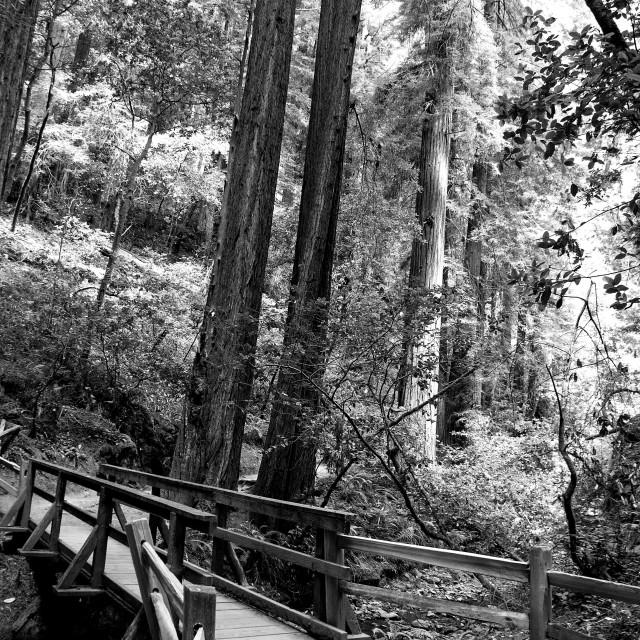 """Peaceful Woods, B+W"" stock image"