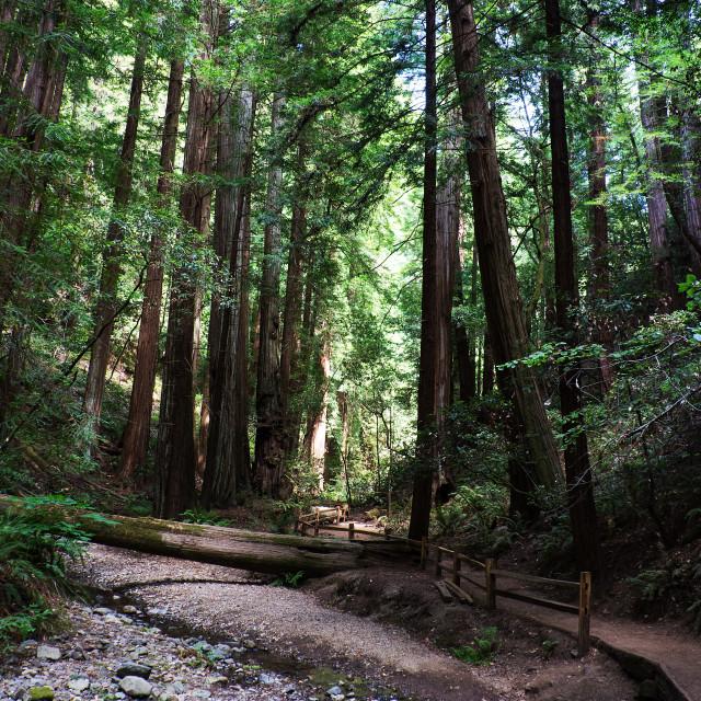 """Giant Redwoods"" stock image"