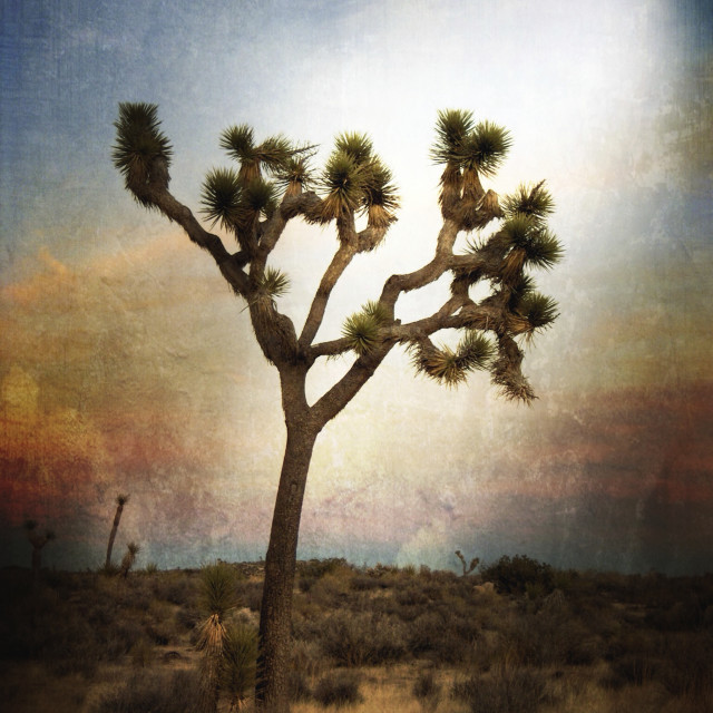 """Joshua Tree Sunset"" stock image"