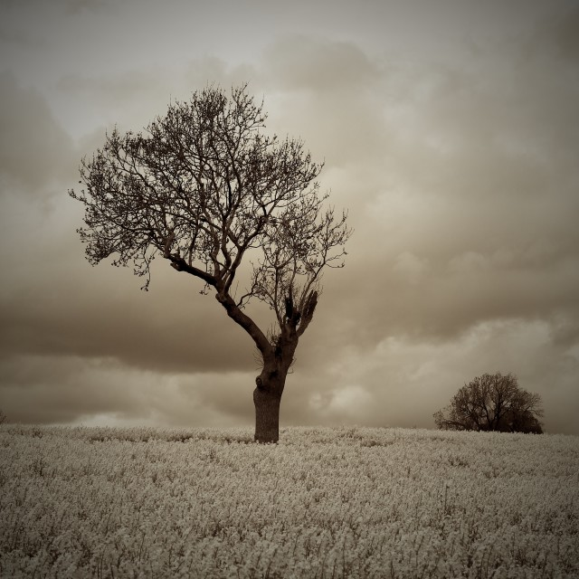 """Sepia Moody Atmospheric Tree in Countryside"" stock image"