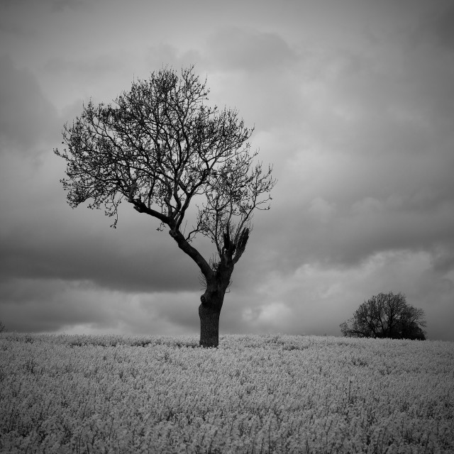 """""""Black White Moody Atmospheric Tree in Countryside"""" stock image"""