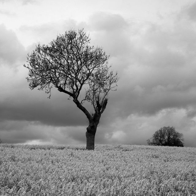 """Black White Moody Atmospheric Tree in Countryside"" stock image"