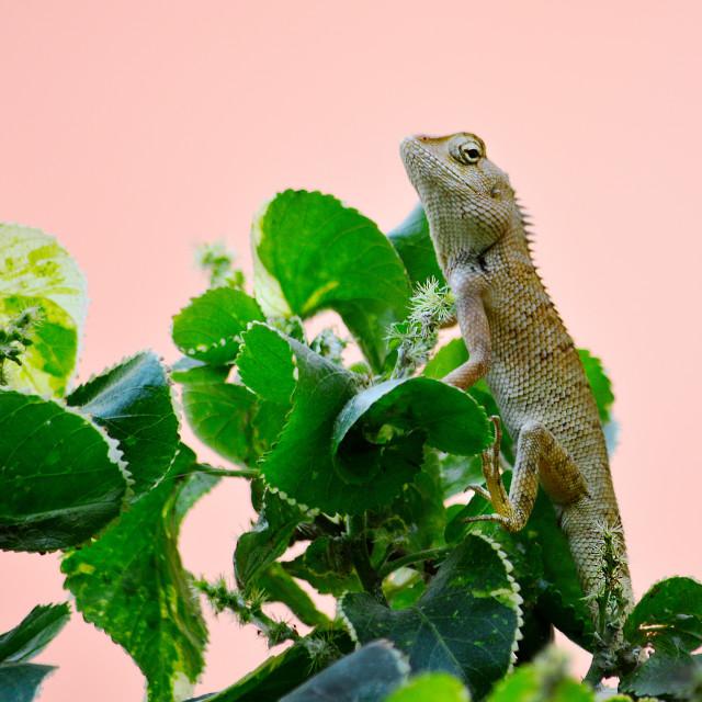 """Garden Lizard Horizontal"" stock image"