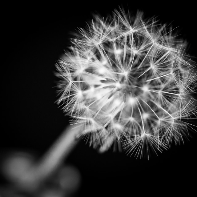 """Dandelion in Monochrome"" stock image"
