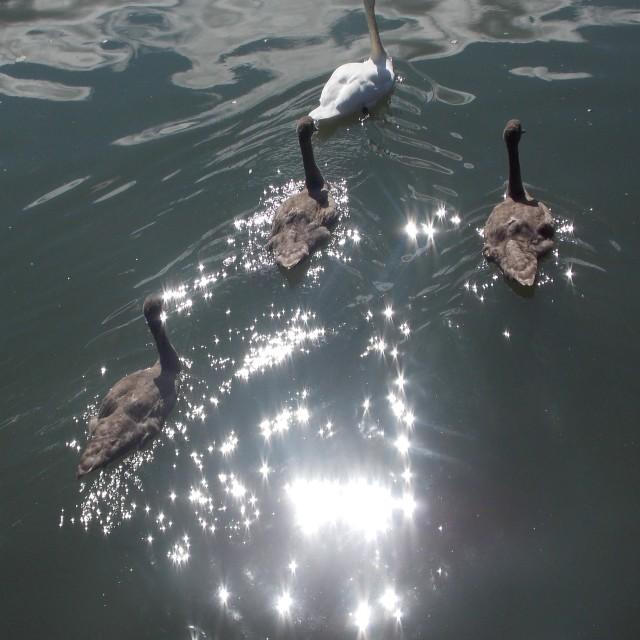 """Sparkiling Swans"" stock image"
