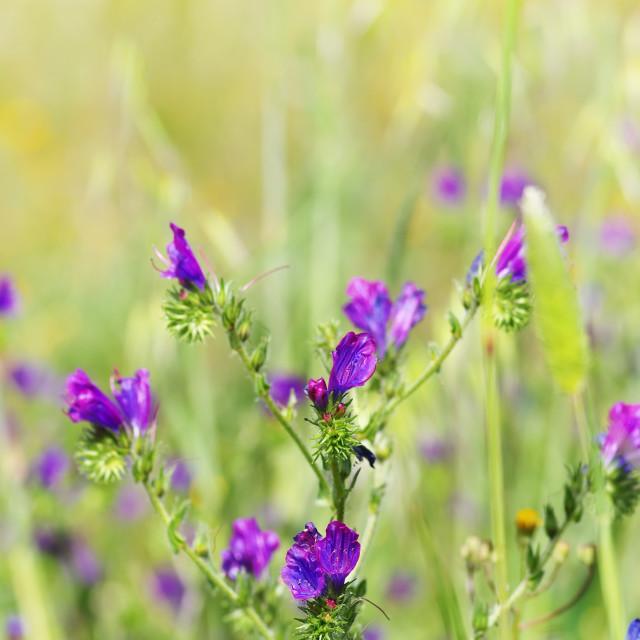 """wild blue flowers on field"" stock image"
