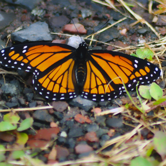 """""""Monarch Butterfly"""" stock image"""