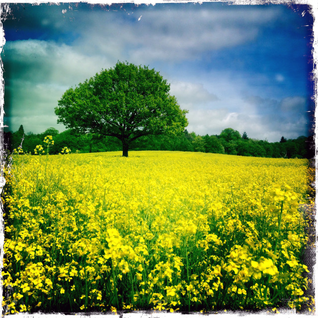 """Oak Tree in Yellow Rape Field"" stock image"