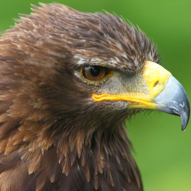 """""""Stare of an Eagle"""" stock image"""