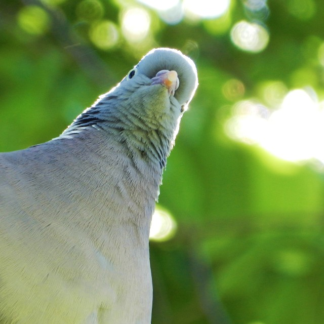 """Exotic style pigeon"" stock image"