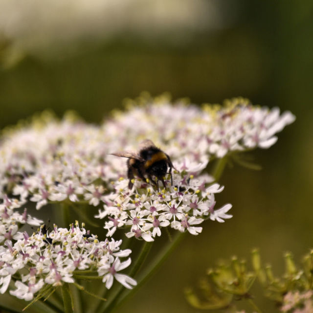 """A bee on cow parsley flower"" stock image"