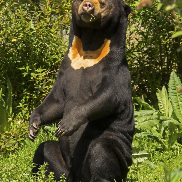 """Malayan Sun Bear"" stock image"
