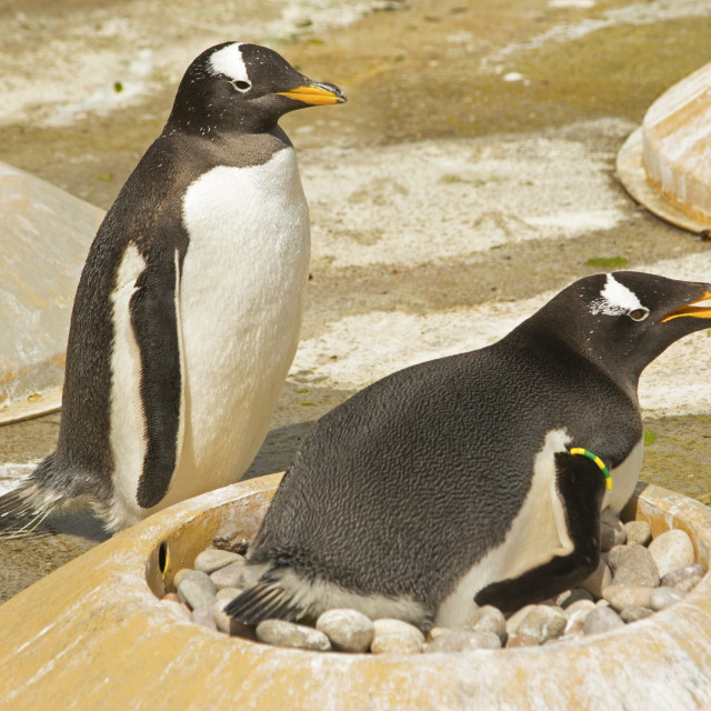 """""""mummy and daddy penguin"""" stock image"""