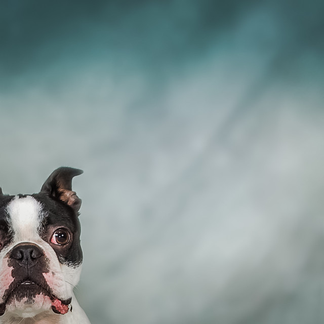 """Zippy the Boston"" stock image"