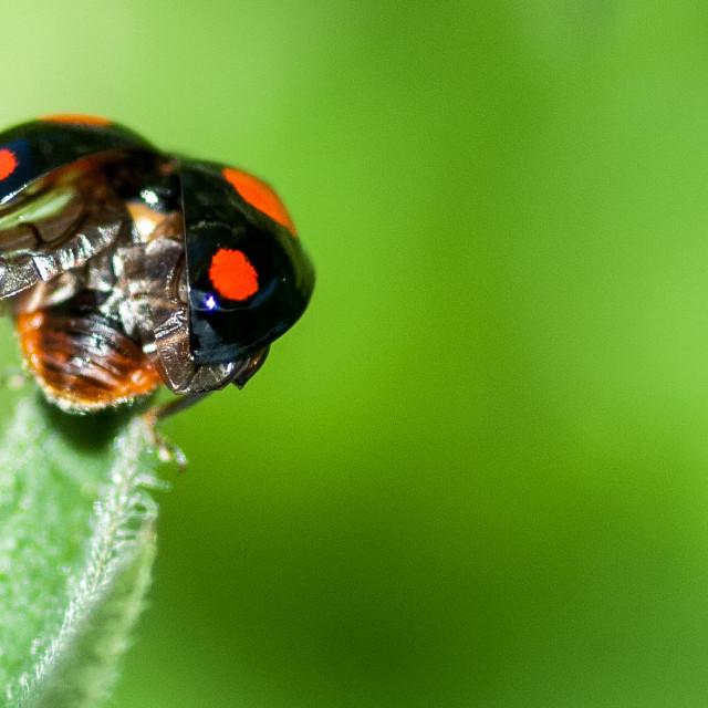 """Harlequin ladybird"" stock image"