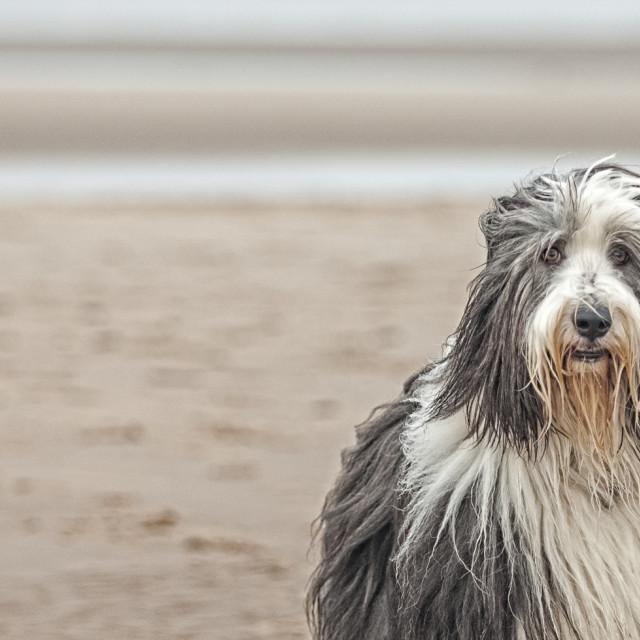 """""""Beached Beardie"""" stock image"""