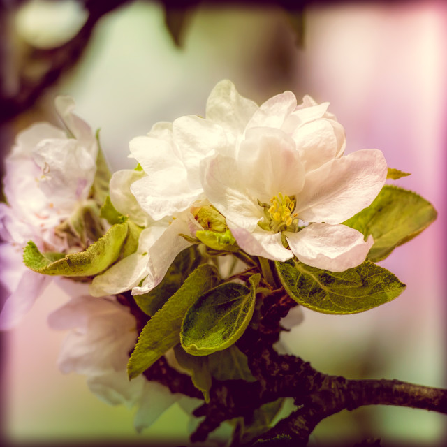 """Apple Tree Flowers"" stock image"