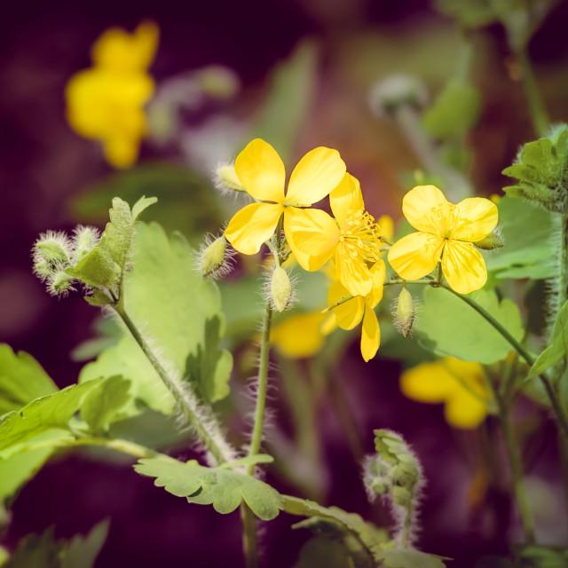 """""""Chelidonium Flowers"""" stock image"""