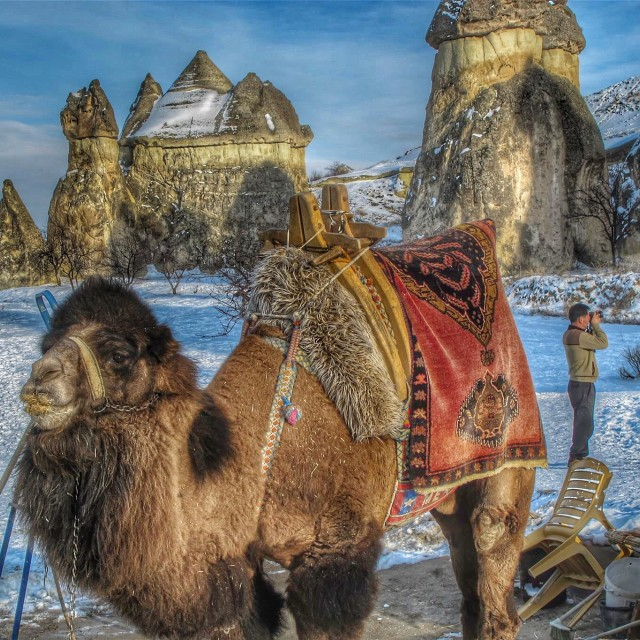 """Snow Meets Camel"" stock image"