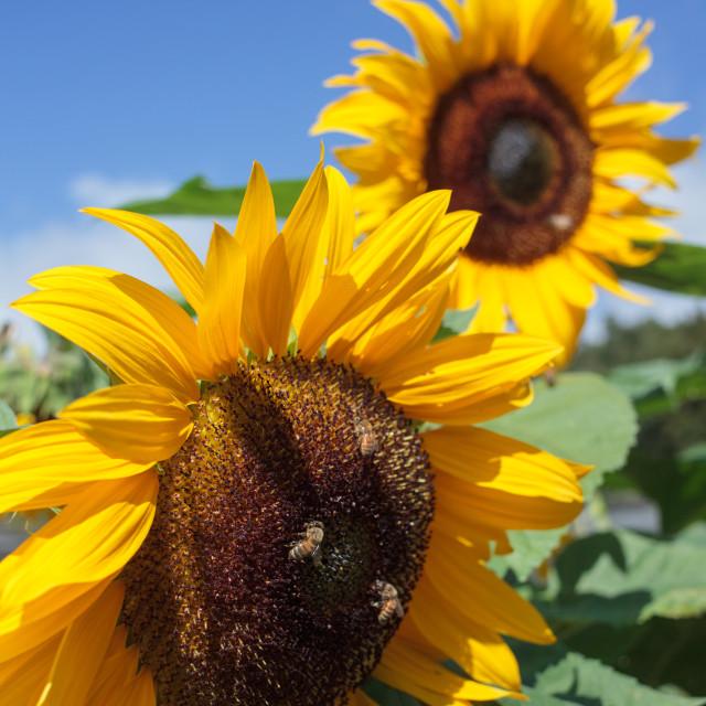 """Sunflower Buzz"" stock image"