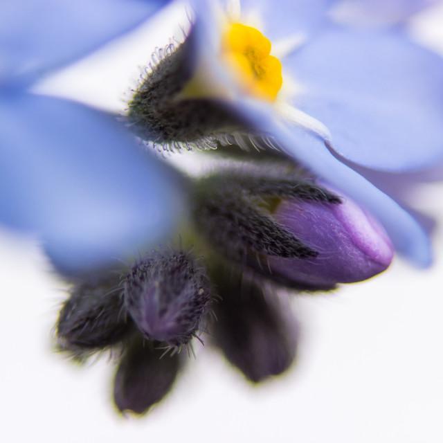 """Myosotis - Blossom"" stock image"